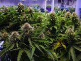 California Marijuana News - cbd news