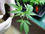 Canada Cannabis CBD Company - CBD News