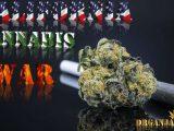 California Cannabis War - DrGanja News